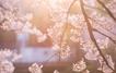 '36만 그루 왕벚나무 보러 갈까?'...봄날에 떠나기 ~